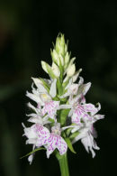 06-6067 Heath Spotted Orchid (Dactylorhiza naculata) County Durham