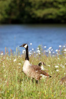 06-6097 Canada Goose (Branta canadensis) Surrounded by Ox-Eye Daisy, Low Barns Nature Reserve, County Durham.