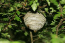 06-6296 Tree Wasp Nest (Dolichovespula sylvestris)