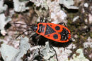 06-7344 Fire Bug (Pyrrhocoris apterus) Dordogne Valley France