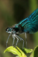 06-7513 Close up of the Head of a Male Dark Winged Demoiselle (Calopteryx splendens, xanthostoma)