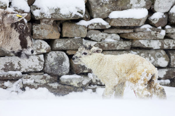 06D-2710 Sheep with lamb born during heavy snowfall Teesdale County Durham