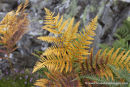 06D-3387 Bracken Pteridium aquilinum in Autumnal Colours Teesdale UK