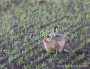06D-5309a Brown Hare Lepus europaeus in Newly Sown Wheat Crop UK