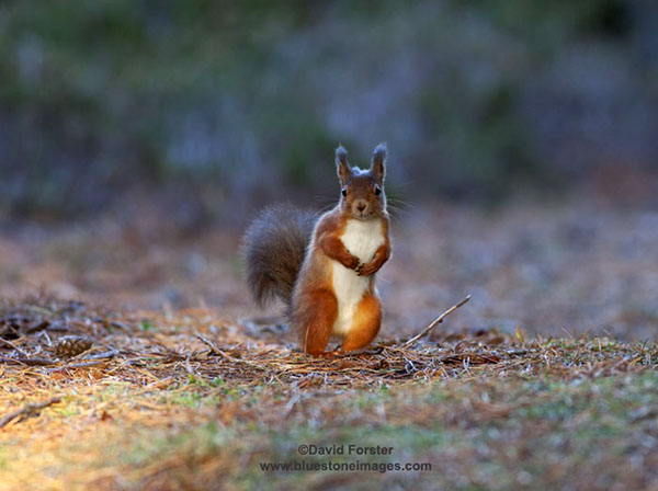 06D-5334 Temp Red Squirrel Sciurus vulgaris Copyright David Forster