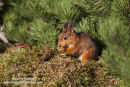06D-5591 Red Squirrel Sciurus vulgaris North Pennines England UK