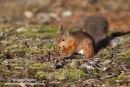 06D-5673 Red Squirrel Sciurus vulgaris North Pennines England UK