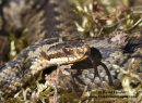 06D-6159a Adder Vipera berus Sensing with Tongue