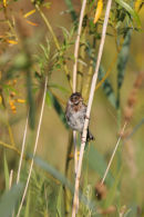 07-2647 Reed Bunting (Emberiza schoeniclus) Low Barns Nature Reserve, County Durham. UK