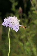 07-2722 Field Scabious (Knautia arvensis) with Hover Fly.