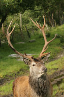 07-3050 Red Deer Stag (Cervus elaphus)
