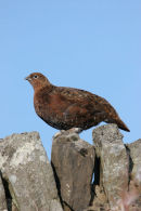 07-3815 Red Grouse Lagopus scoticus Teesdale County Durham