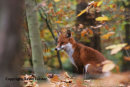 07-3970a Red Fox (Vulpes vulpes) in Autumn Woodland UK