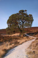 07-4665 Scots Pine Pinus sylvestris Meall a' Bhuachaille and Frozen Track Cairngorms Scotlands
