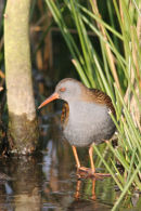 07-6201 Water Rail (Rallus aquaticus) North East England