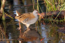 07-6289 Water Rail (Rallus aquaticus) North East England