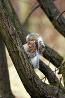 0780 Grey Squirrel (Sciurus carolinensis) in Tree