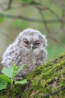 08-0324 Tawny Owl Chick (Strix aluco) in Alder Tree.