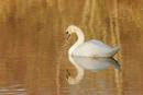 0814 Mute Swan (Cygnus olor) in Morning Light