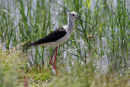 09-3704 Black Winged Stilt Himantopus himantopus Camargue France