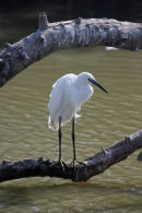 09-3949 Little Egret Agretta garzetta Camargue France