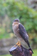 09-6159 Male Sparrowhawk (Accipter nisus)