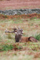 09-7477 Red Deer Stag Cervus elaphus Roaring  During the Rut