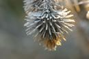 1000 Frost Coated Thistle Head.