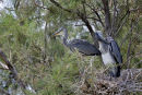 11-3389 Grey Heron Ardea cinerea on Nest