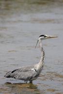 11-3682 Grey Heron Ardea cinerea