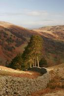 3690 Dry Stone Wall and Scots Pine (Pinus sylvestris) English Lake District.