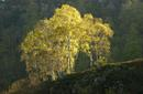 5707 Silver Birch in Dawn Light, English Lake District