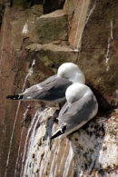 6485 Kittiwake (Rissa tridactyla) Farne Islands