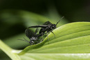 6934 Solomon's Seal Sawfly (phymatocera aterrima) Mating on Solomon's Seal Plant