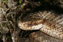 7291 Adder Head (Vipera berus)