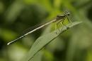 8879 White-legged Damselfly (Platycnemis pennipes), Dordogne Valley, France