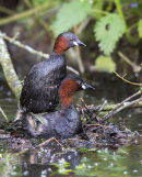LittleGrebes 873
