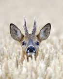 Roe buck in wheat