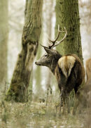 Alert woodland stag