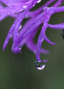Droplet on Knapweed