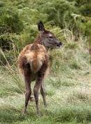 Red deer calf.