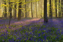 Bluebell Woodland - Micheldever, Hampshire