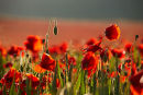 Early Sunlight And Poppies