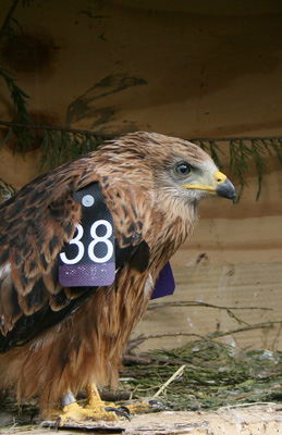 A wing-tagged chick released in Aberdeen