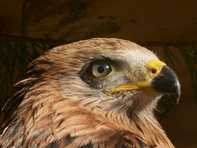 A young kite showing the dull grey eye colour.