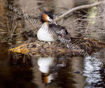 Great Crested Grebe Nest