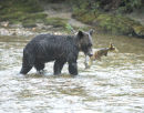 Brown Bear with a Chum Salmon.