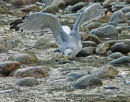 A California Gull.