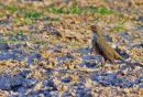 Rufous-bellied Thrush.