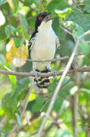 Great Antshrike.